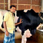 কালিহাতী ঈদ আযহার  আকর্ষণ নয়া দামানের রসিক হাসি গরু